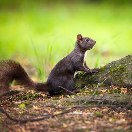 black squirrel: Closeup of a red squirrel (Sciurus vulgaris) Stock Photo