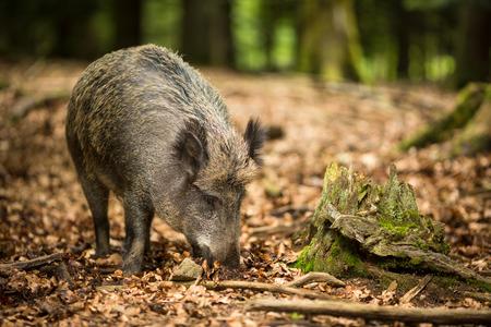 멧돼지 (Sus scrofa) 스톡 콘텐츠