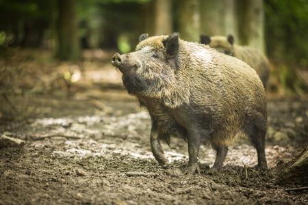 wildschwein: Wildschwein (Sus scrofa) Lizenzfreie Bilder