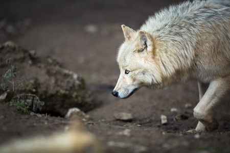horrific: Arctic Wolf (Canis lupus arctos) aka Polar Wolf or White Wolf Stock Photo