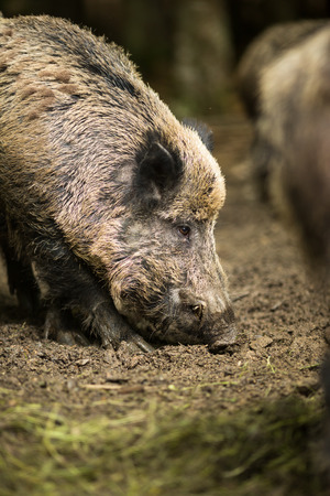 Jabal� (Sus scrofa) photo