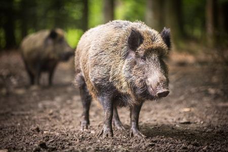 Wild boar (Sus scrofa) photo