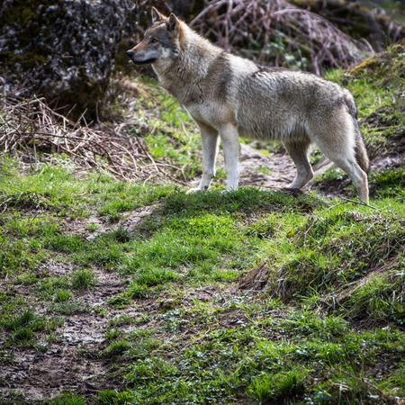 GrayEurasian wolf (Canis lupus) photo