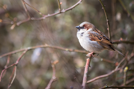 passer by: House Sparrow (Passer domesticus)
