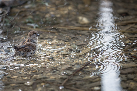 domesticus: House Sparrow (Passer domesticus)