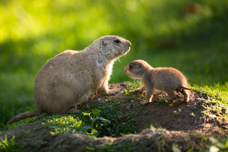 dog rock: Cute black tailed prairie dog with a youngster