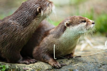 otter: Cute otters - Eurasian otter