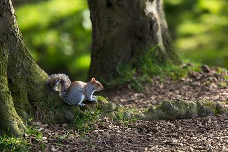 black squirrel: Red squirrel (Sciurus vulgaris)