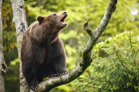 Bruine beer (Ursus arctos), zittend op een boom, schreeuwen luid
