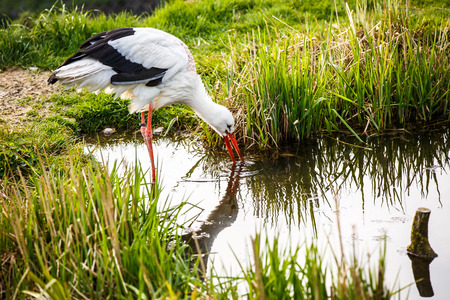 White stork hunting Stock Photo - 28325344