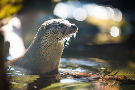 Loutre eurasienne Lutra lutra