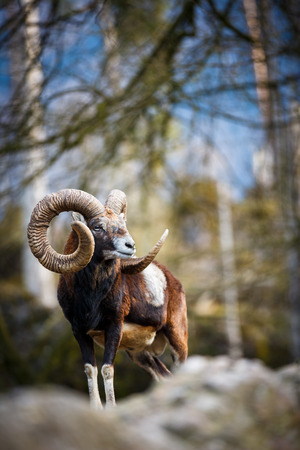 The mouflon  Ovis orientalis  photo