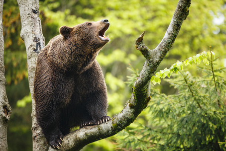 Brown bear  Ursus arctos , sitting on a tree, screaming loudly