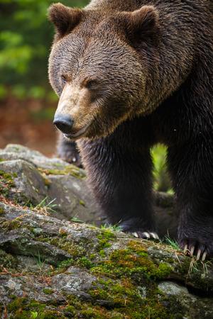 ursus: Brown bear  Ursus arctos
