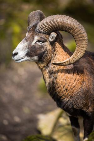 The mouflon (Ovis orientalis) photo
