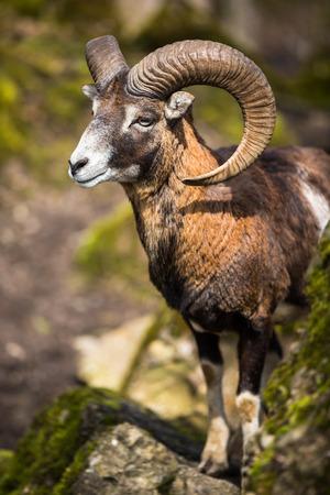 mouflon: El mufl�n (Ovis orientalis)