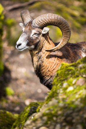 ovis: The mouflon (Ovis orientalis) Stock Photo