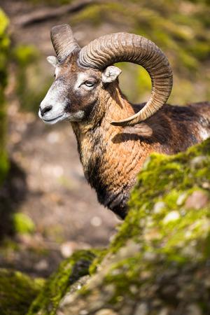 animal ram: The mouflon (Ovis orientalis) Stock Photo
