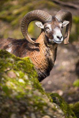 mouflon: The mouflon (Ovis orientalis) Stock Photo