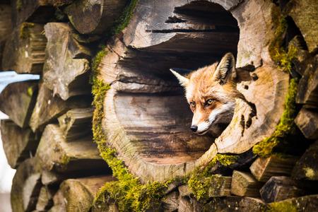 animal den: Red Fox (Vulpes vulpes) Stock Photo