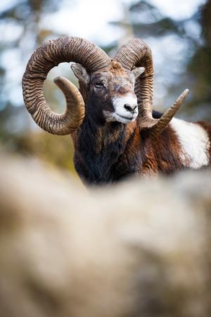 aries: The mouflon (Ovis orientalis) Stock Photo