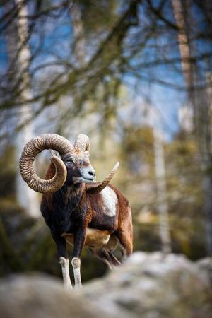mouflon (동양 OVIS) 스톡 콘텐츠