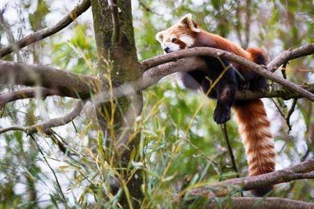 south sichuan: Red panda (Ailurus fulgens, lit. shining cat)