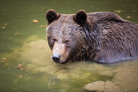 forest conservation: Brown bear (Ursus arctos)