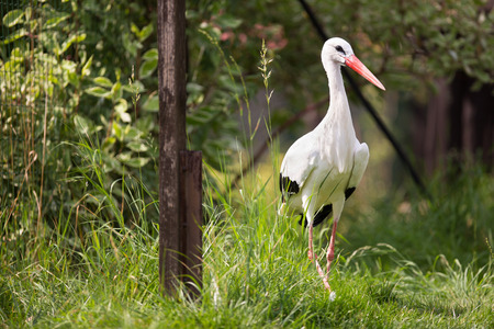 White Stork (Ciconia ciconia) hunting photo
