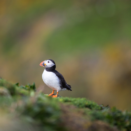 puffins: Puffin (Fratercula arctica), Isle of May, Scotland Stock Photo