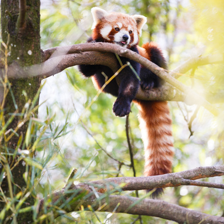 rare animals: Red panda (Ailurus fulgens, lit. shining cat)