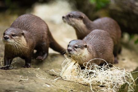 poacher: Cute otters - Eurasian otter (Lutra lutra)
