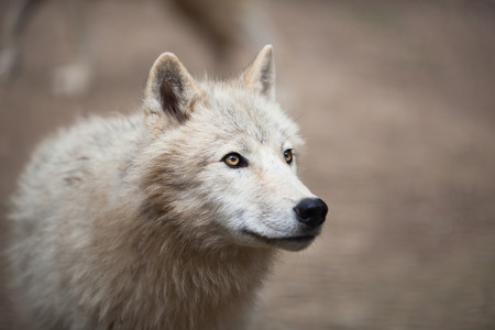grey wolf: Arctic Wolf (Canis lupus arctos) aka Polar Wolf or White Wolf - Close-up portrait of this beautiful predator