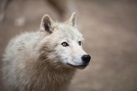 lobo: Lobo ártico (Canis lupus arctos) también conocido como lobo Polar o White Wolf - retrato de primer plano de este depredador hermosa Foto de archivo