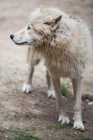frightening: Arctic Wolf (Canis lupus arctos) aka Polar Wolf or White Wolf - Close-up portrait of this beautiful predator