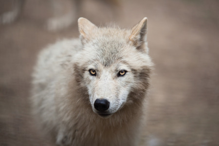 wolf head: Arctic Wolf (Canis lupus arctos) aka Polar Wolf or White Wolf - Close-up portrait of this beautiful predator