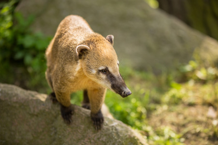 omnivore: White-nosed Coati (Nasua narica) aka Pizote or Antoon. Diurnal, omnivore mammal Stock Photo