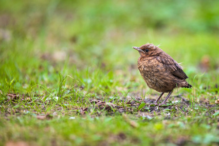 Closeup of a baby Common Blackbird (Turdus merula) photo