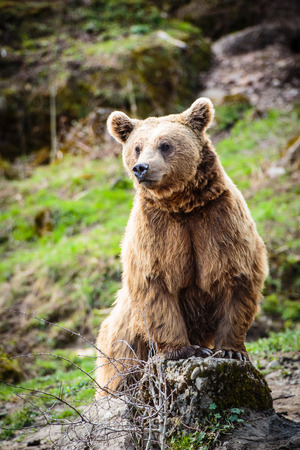 Brown Bear (Ursus arctos) photo