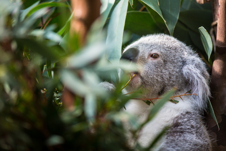 Koala on a tree with bush green background Stock Photo