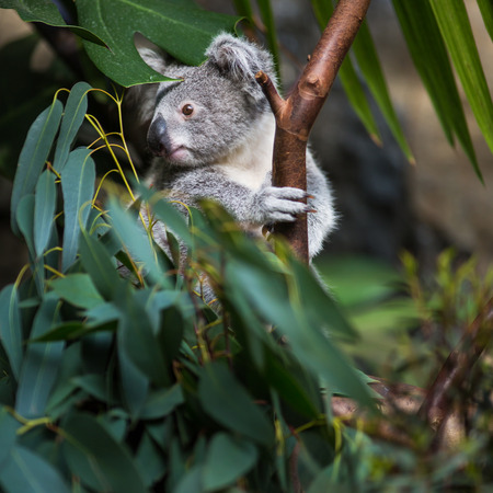 perching: Koala on a tree with bush green background Stock Photo