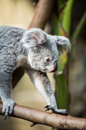 arboreal: Koala on a tree with bush green background Stock Photo