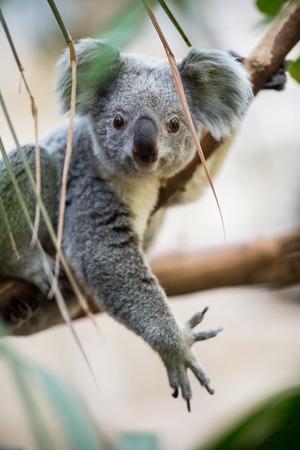 Koala sur un arbre avec fond vert buisson