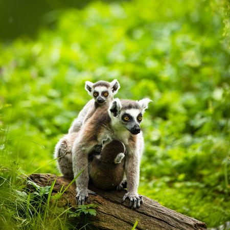 catta: Lemur kata (Lemur catta) Stock Photo