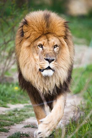 panthera leo: Macestic lion walking