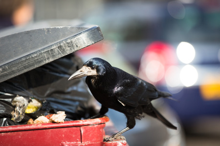 Raven feeding on rubbish in a city photo