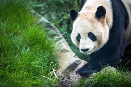 Panda géant (melanoleuca d'Ailuropoda)