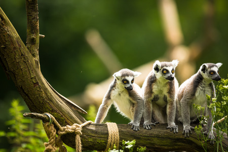 kata: Lemur kata (Lemur catta) Stock Photo