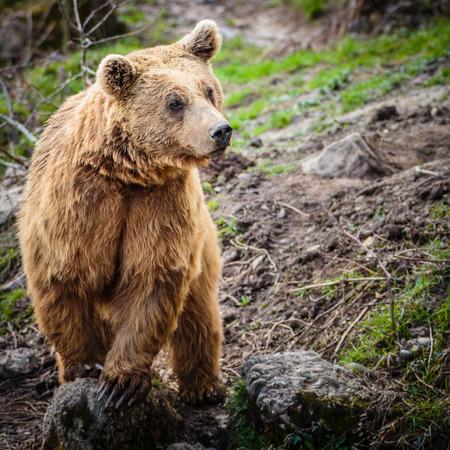 ursus: Brown Bear (Ursus arctos)