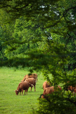 Cows grazing on a lovely green pasture photo
